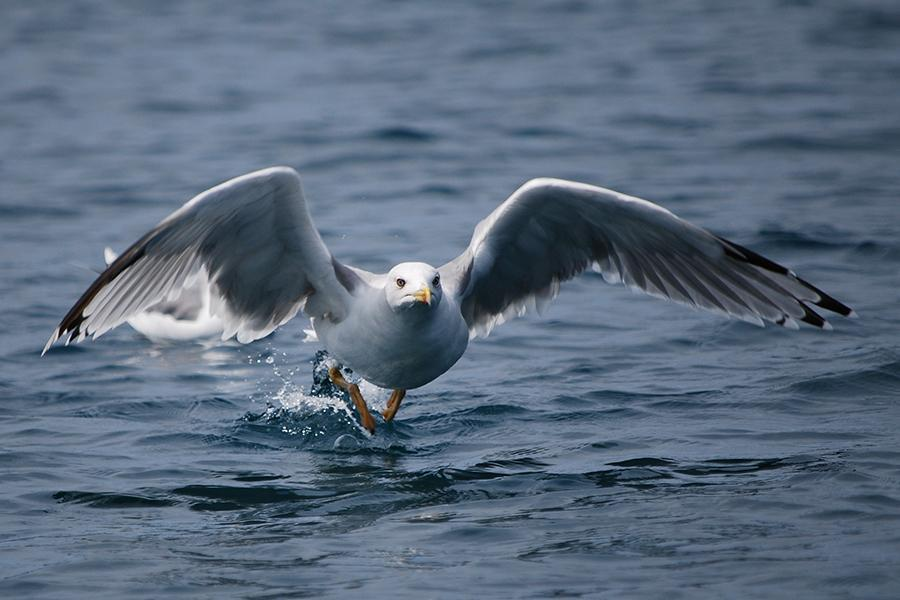 Seagull Rhapsody